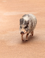 Domestic pot bellied pig Sus scrofa domesticus