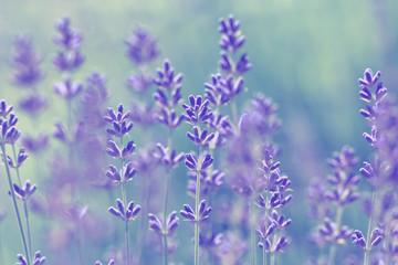 blurred  pale lavender summer background