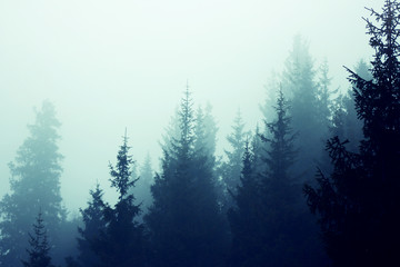 Misty fog pine forest mountain slopes color toning