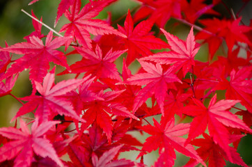 Red maple leaf, maple tree blurred background