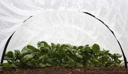 Spinach growing under plastic cloche