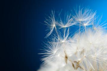 Dandelion seeds fly away
