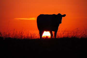 Cow's silhouttte at sunset in a meadow