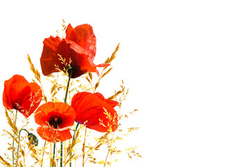 Obraz poppies on white background, summertime - fototapety do salonu