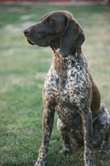German pointer dog lying in garden or back yard