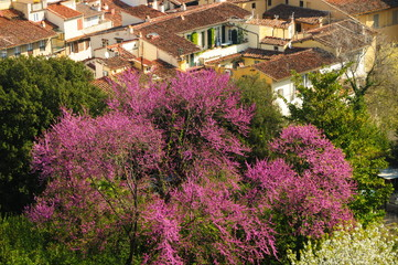 Blooming trees in Bardini Garden, Florence, Italy.