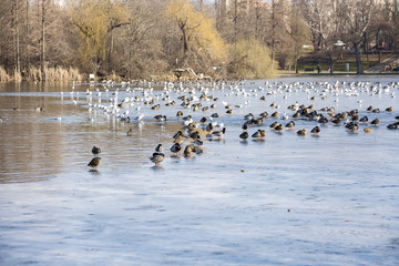 Birds flying over lake, cold spring day