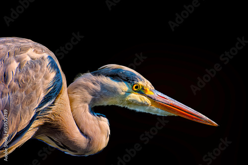 Color Portrait Of A Single Isolated Hunting Heron Egret On Black