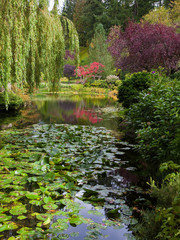 Quiet pond, overgrown with  lilies