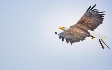 Fliegender Weißkopfseeadler