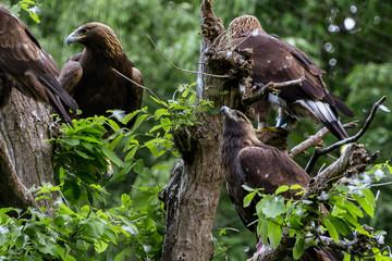 Golden eagles - イヌワシの群れ2