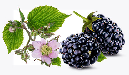 Blackberry and blackberry flower and foliage isolated
