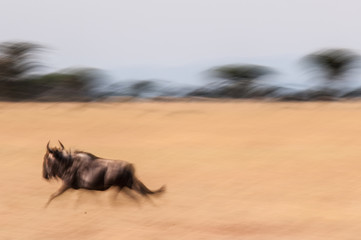 Running Wildebeest_1