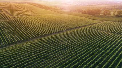 Aluminium Prints Vineyard Aerial view of a green summer vineyard at sunset