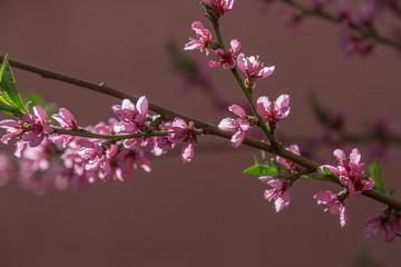 Blooming Tree in Springtime