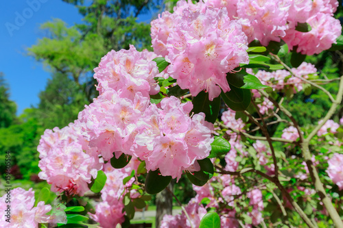 Nice Amazing Closeup View Of Blooming Tree Pink Fluffy Flowers In