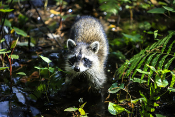 A Racoon in the undergrowth in rural Florida