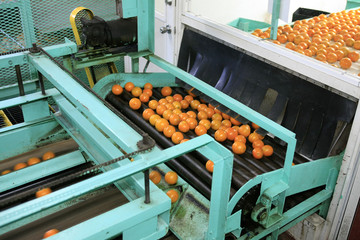The machinery used to wash and inspect oranges ready for grading and packing for stores around Florida