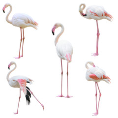 Foto auf Leinwand Flamingo greater flamingo (Phoenicopterus roseus) isolated