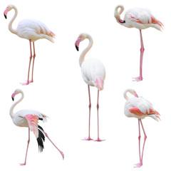 Foto op Canvas Flamingo greater flamingo (Phoenicopterus roseus) isolated