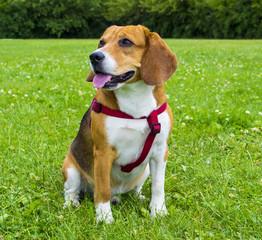 Dog beagle on green grass. closeup Beagle. Beagle dogs, portrait