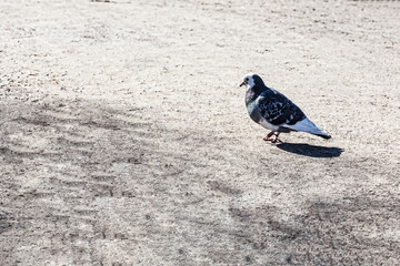 The pigeon in the Park