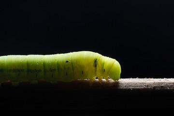 A macro shot of a Butterfly Caterpillar