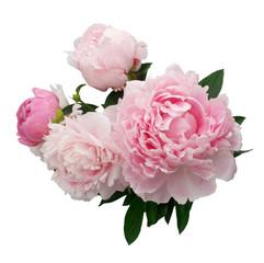 Obraz Pink peony flower isolated on white background - fototapety do salonu