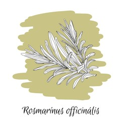 Rosemary. Latin words .Herbs and spices. Vector illustration. Sketch style