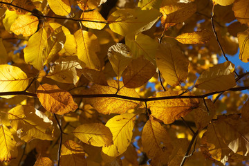 Beech leaves at autumnal time