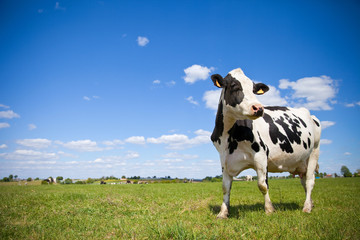La pose en embrasure Vache Vache Prim'Holstein en campagne