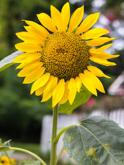 Vertical photo of a bright yellow sunflower with green leaves and a white picket fence in soft focus in the background