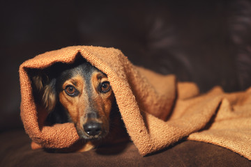 Small black and brown dog hiding under orange blanket on couch looking scared worried alert frightened afraid wide-eyed uncertain anxious uneasy distressed nervous tense Wall mural