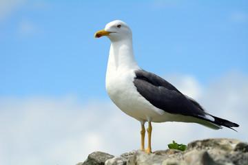 Black-backed gull, Inchcolm Island, Scotland