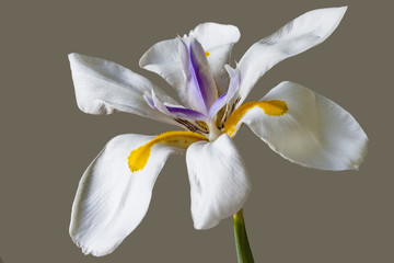 White iris with a purple center and yellow accents on a tall green stalk