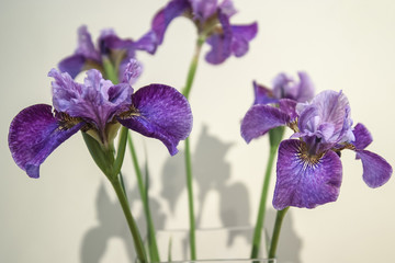 Purple and blue iris flowers are a staple of many formal gardens through-out the world. The iris, on its tall green stalk conveys strong sentiments such as valor, wisdom and courage.