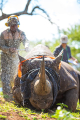 De-horning of an endangered Black Rhino to lessen the incentive for poachers of rhino horn.  Somkhanda Game Reserve, Mkuze (Wildlife ACT & Wildlands)
