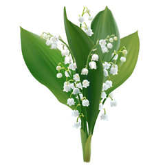 Convallaria majalis - Lilly of the valley.
