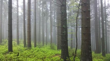 Misty woods. Slovakia