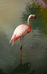 Standing Flamingo in the Water