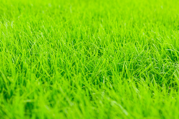 green grass background.Close-up of fresh green grass. Background for the inscriptions.