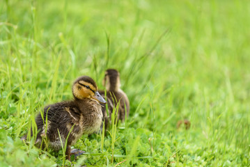 yellow baby ducks walking - photo #44