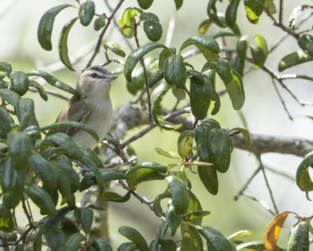 Red-eyed Vireo perching bird in natural landscape