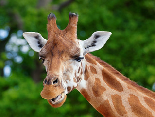 Close-up of a giraffe in front of some green trees, looking at the camera pulling a funny face. With space for text.