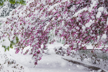 Branch of blossoming sakura tree under snow storm