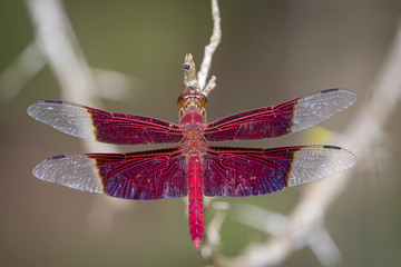 Image of a red dragonflies (Camacinia gigantea) on nature background. Insect Animal