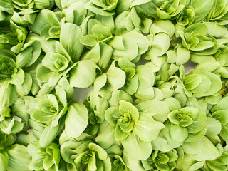 Vegetables hydroponics system in greenhouse, Chinese cabbage or Bok choy