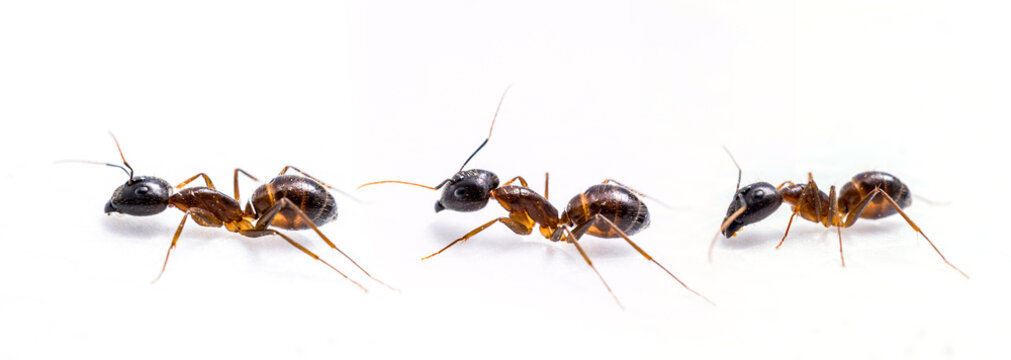 close up three ant on white background