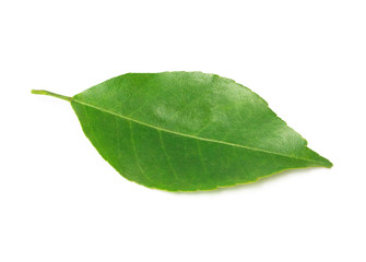 Lemon leaf isolated on white background with clipping path