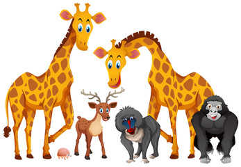 Giraffes and monkeys on white background